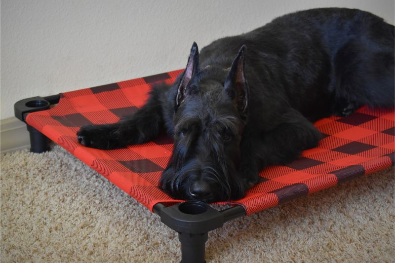 Dog on Plaid Cot